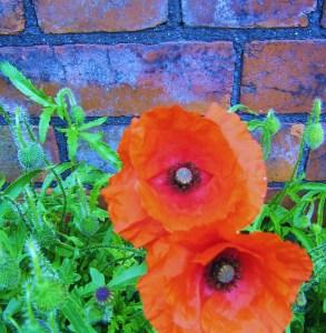 poppies 009 (3)