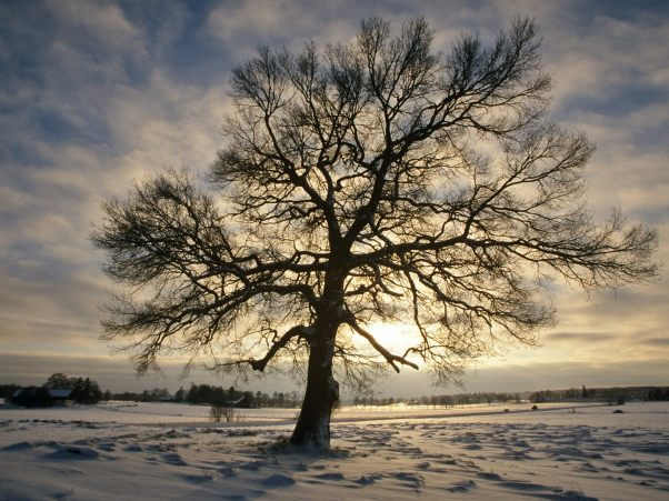 english_oak_tree_in_winter__sweden